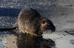Nutria (Myocastor coypus)